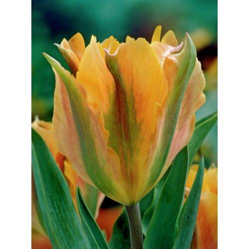 Viridiflora Tulipán - GOLDEN ARTIST (1 db)
