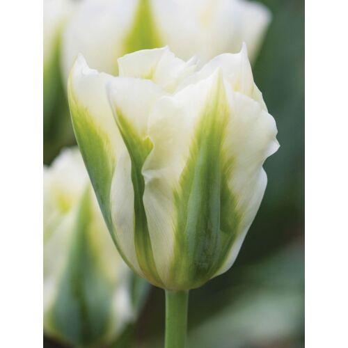 Viridiflora Tulipán - SPRING GREEN (1 db)