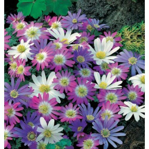 Anemona - BLANDA színkeverék (min. 5 db)