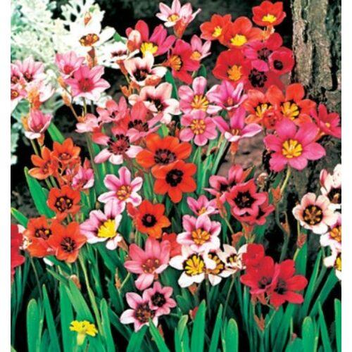 Cigányvirág (Sparaxis) színkeverék (10 db)