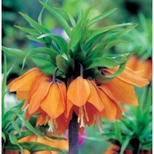 Császárkorona (Fritillaria) -  AURORA