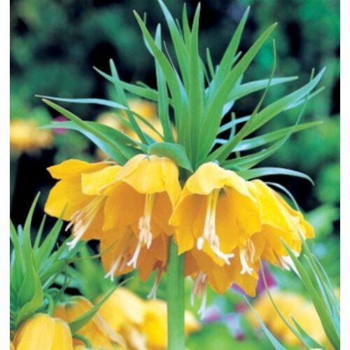 Császárkorona (Fritillaria) -  LUTEA