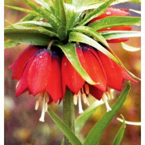 Császárkorona (Fritillaria) -  RUBRA MAXIMA