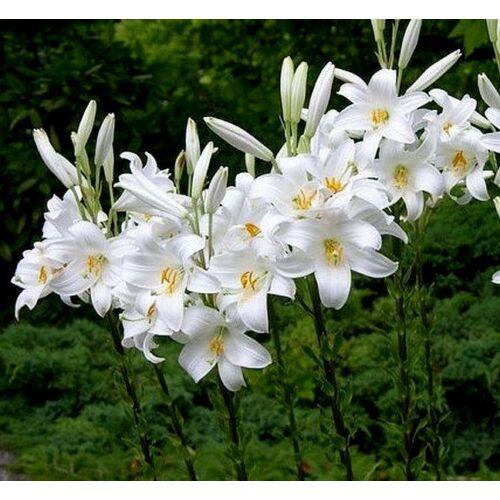 Lilium candidum - Madonnaliliom  (1 db)