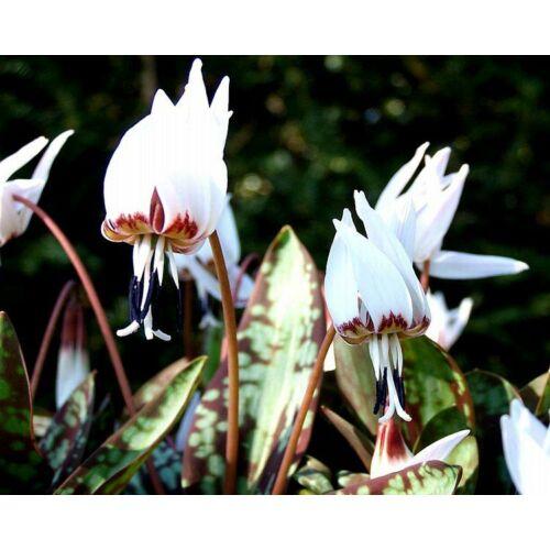 Kakasmandinkó (Erythronium) - SNOW FLAKE