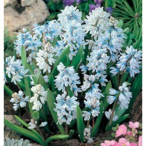 Puskin-virág