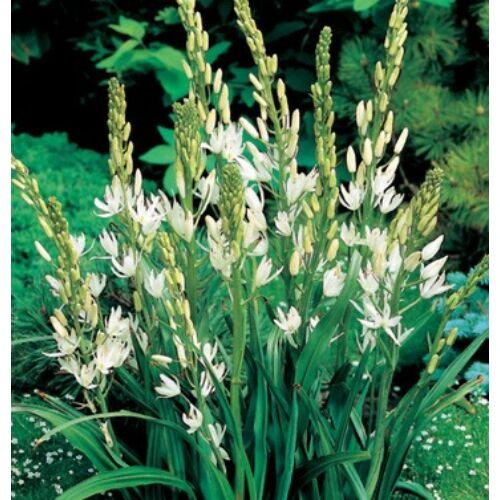 Prérigyertya (Camassia) - WHITE