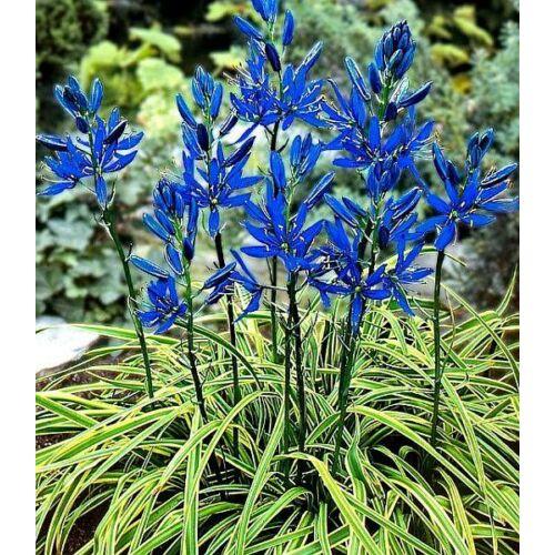 Prérigyertya (Camassia) - BLUE