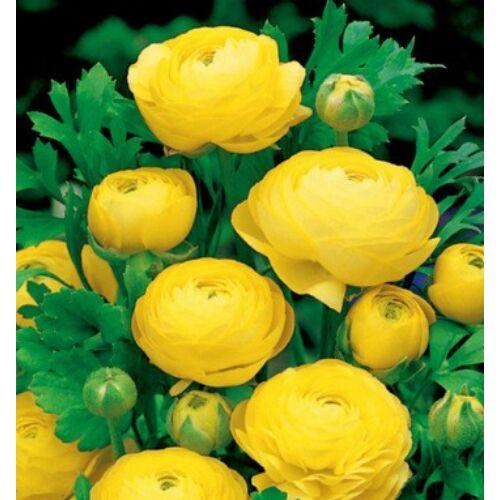 RANUNCULUS - Boglárka (sárga) (1 db)