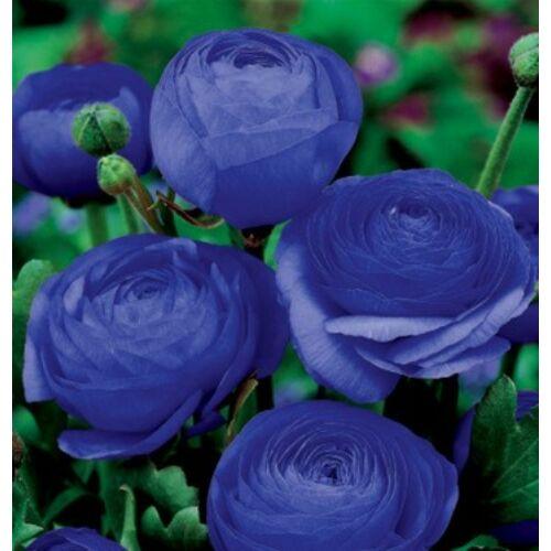 RANUNCULUS - Boglárka (kék) (1 db)