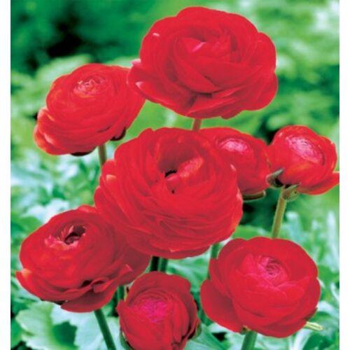 RANUNCULUS - Boglárka (piros)  (1 db)