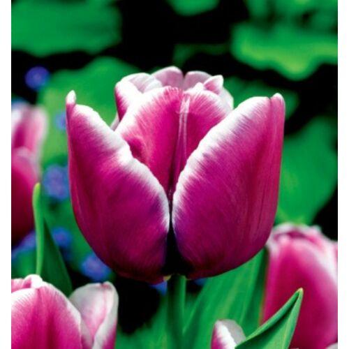 Tulipán - ARABIAN MYSTERY
