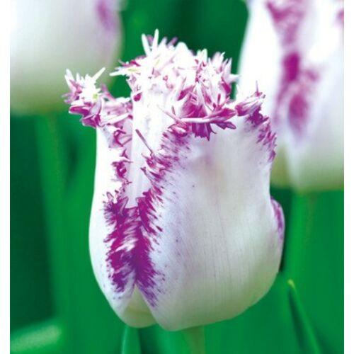 Tulipán - ARIA CARD