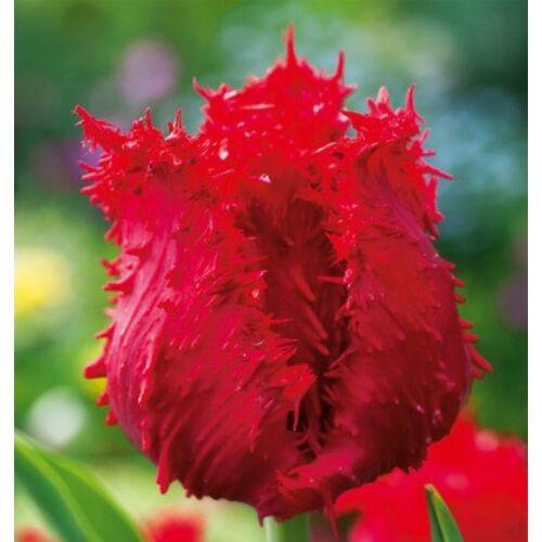 Tulipán - BARBADOS