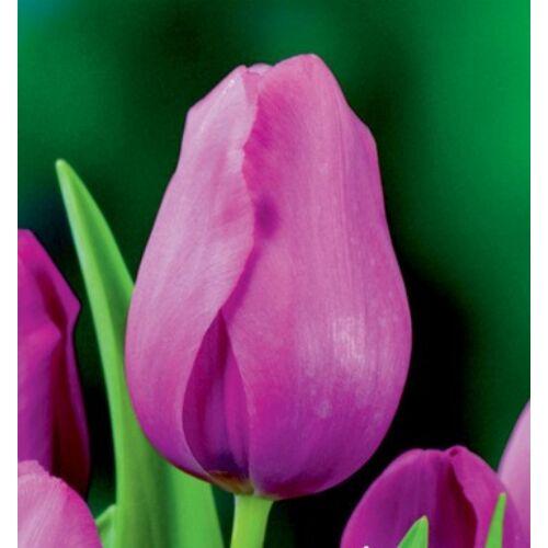 Tulipán - DON QUICHOTTE