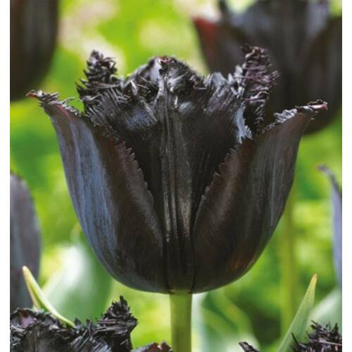 Tulipán - FRINGED BLACK