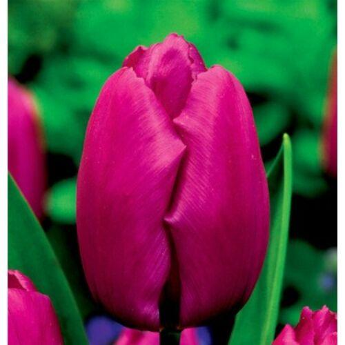 Tulipán - PURPLE PRINCE