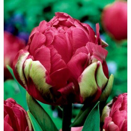 Tulipán - RENOWN UNIQUE