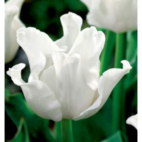 Tulipán - WHITE LIBERSTAR