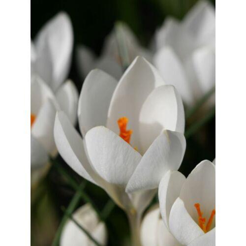 Virághagyma ajándékcsomag - Krókusz