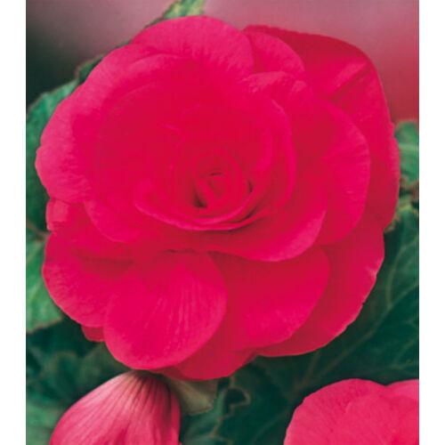 Begónia 'Double Pink'