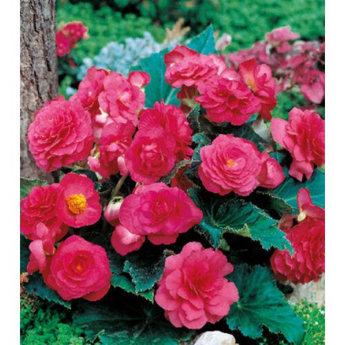 Begónia 'Multiflora Pink'