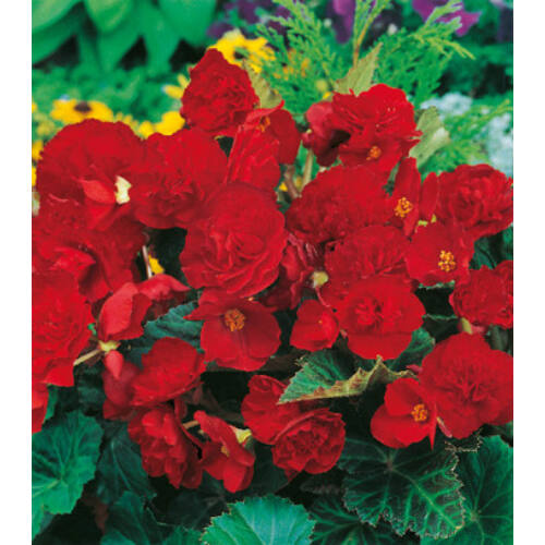 Begónia 'Multiflora Red'