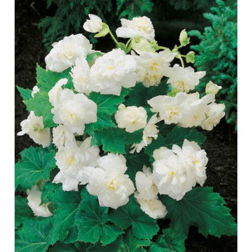 Begónia 'Multiflora White'