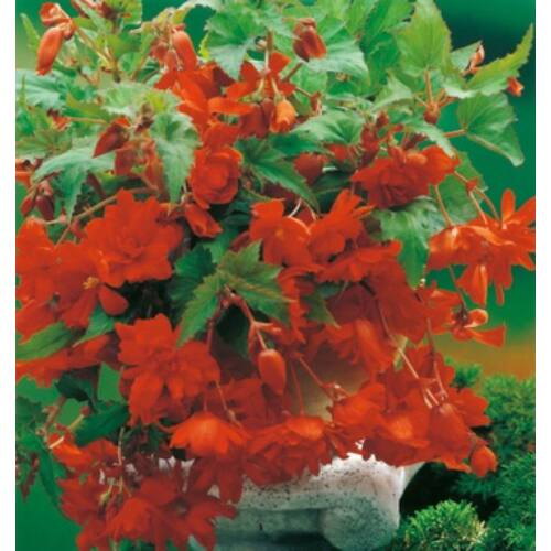 Begónia 'Pendula Orange'