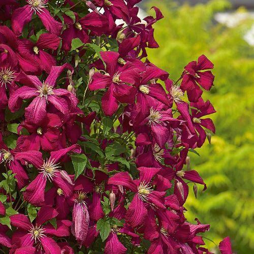 Clematis - Rosemoor
