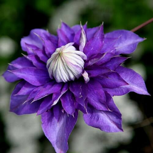 Clematis - Vyvyan Pennell