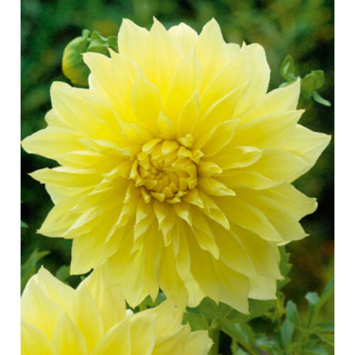 Dália KELVIN FLOODLIGHT (óriás virágú)