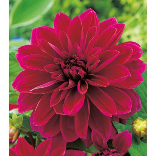Dália THOMAS EDISON (óriás virágú)