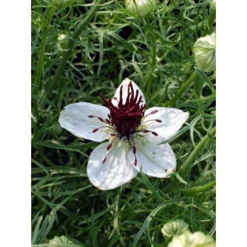 Borzaskata  (Nigella papillosa) - 'African Bride' virágmag
