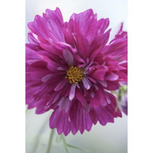 Pillangóvirág (Cosmos bipinnatus), 'Double Click' Series, 'Double Click