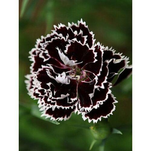 Szegfű (Dianthus chinensis var heddewigii), 'Black & White