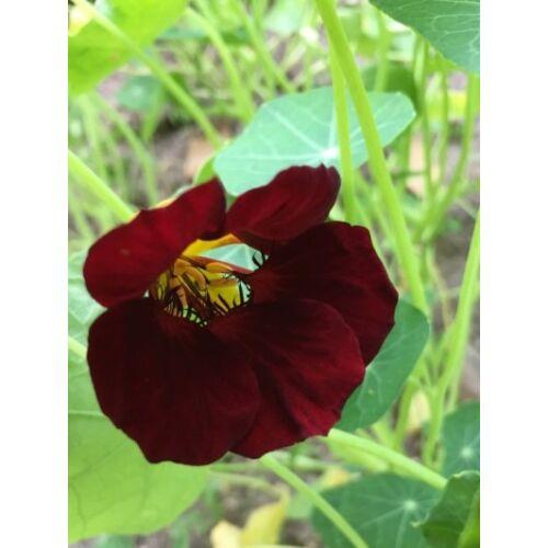 Kerti sarkantyúka (Tropaeolum minus) - 'Black Velvet' virágmag