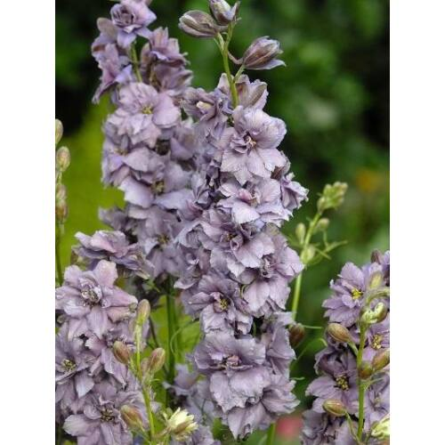 Szarkaláb (Delphinium consolida), 'Misty Lavender'