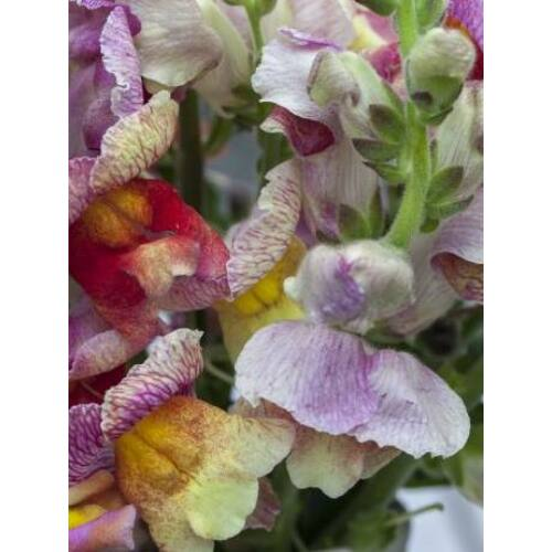 Tátika (Antirrhinum majus), 'Tetra Ruffled Giants' Mixed