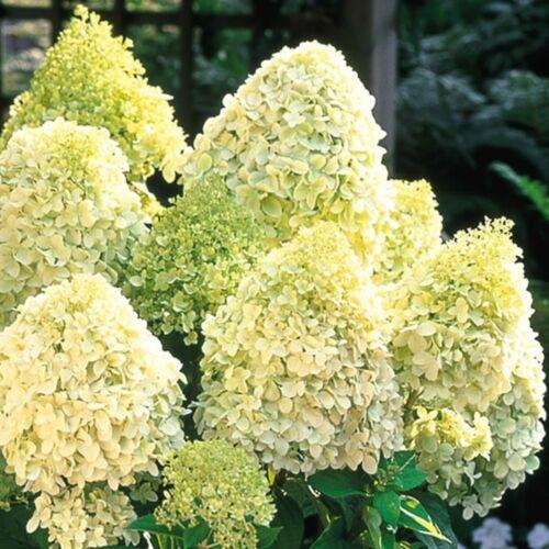 Bugás hortenzia LIMELIGHT ®