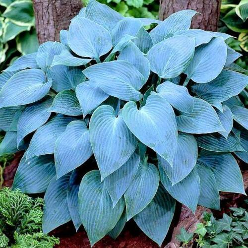 Árnyékliliom (Hosta) - Blue