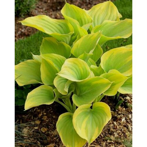 Árnyékliliom (Hosta) - Dutch Flame