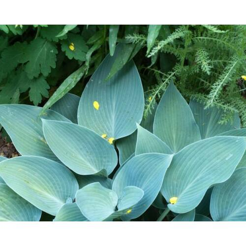 Árnyékliliom (Hosta) - Hadspen Blue