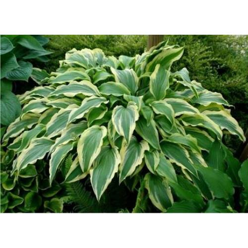 Árnyékliliom (Hosta) - Pee Dee Laughing River