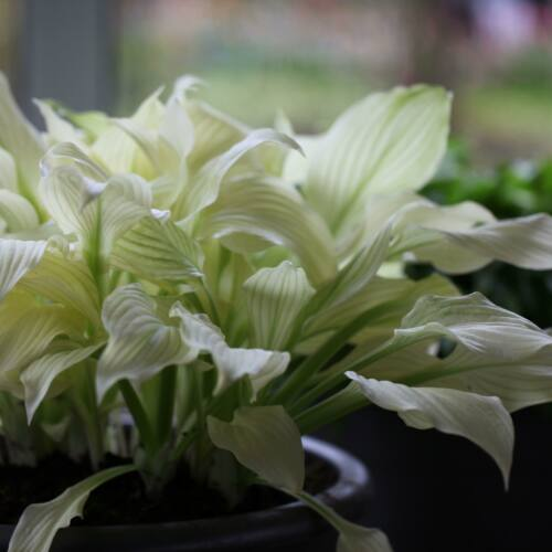 Árnyékliliom (Hosta) - White Feather