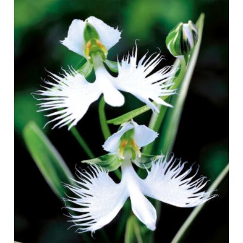 HABENARIA RADIATA - Kócsagvirág