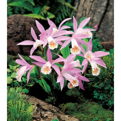 Tibeti orchidea (Pleione Formosana)