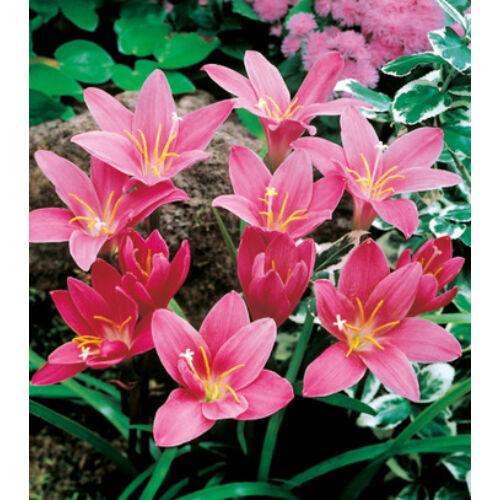 ZEPHYRANTHES - Zefírvirág (pink)