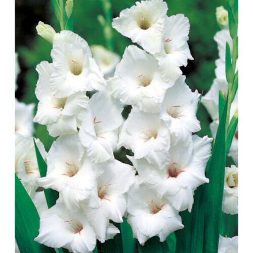 Kardvirág WHITE PROSPERITY
