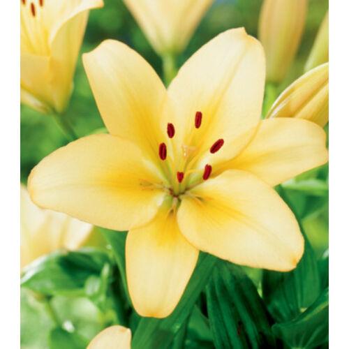 Ázsiai liliom - MENORCA